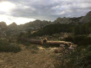 árbol talado y cortado